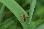 Alydidae - Camptopus sp ? - 13 mm - Real - 7.11.2019