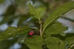 Scutelleridae - Chrysocoris sp - 14 mm - Sibuyan - 19.11.2019