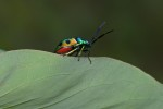Scutelleridae - Chrysocoris sp - 13 mm - Cataja - Sibuyan - 28.11.2019