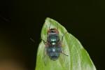 Calliphoridae - 10 mm - Quezon - 7.1.2.2019